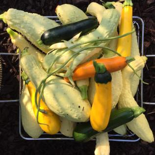 Rugosa Friulana squash, a wrinkly yellow cucurbit, from Northeastern Italy- Friuli Venezia Giulia