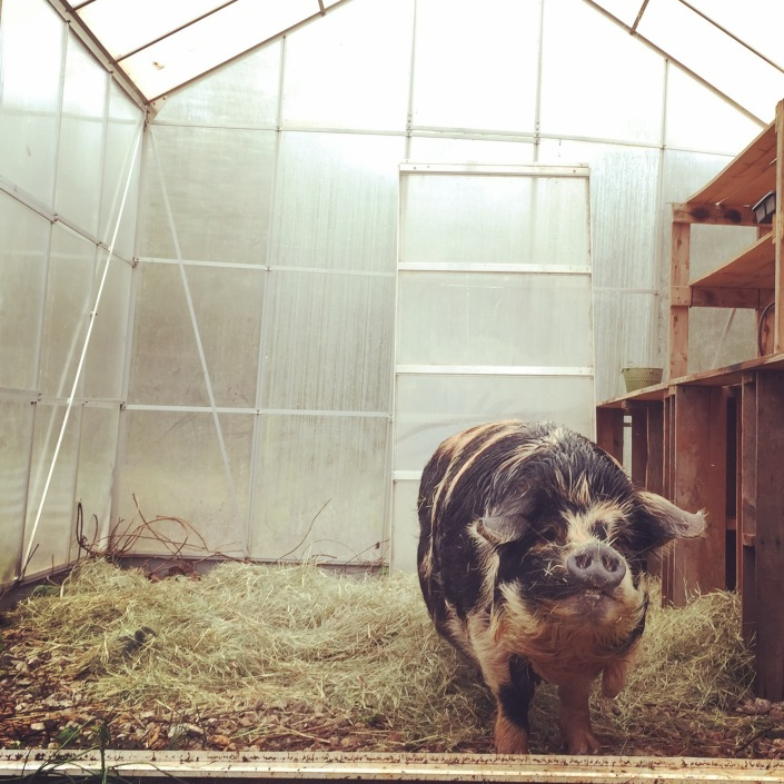 Pigs can bed down in a greenhouse in the winter, or even farrow in one.