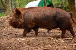 Mahia Love boar, Digger
