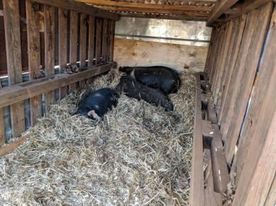 Happy boars.