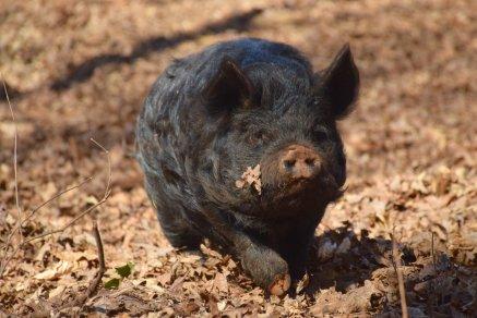 Tutanakei boar, Animal