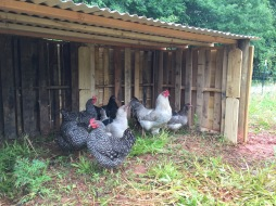 Even the chickens love it!