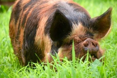 kunekune pig, kune kune pig, maori pig, pastured pig