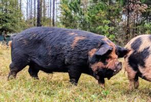 Mahia Love boar, Joey