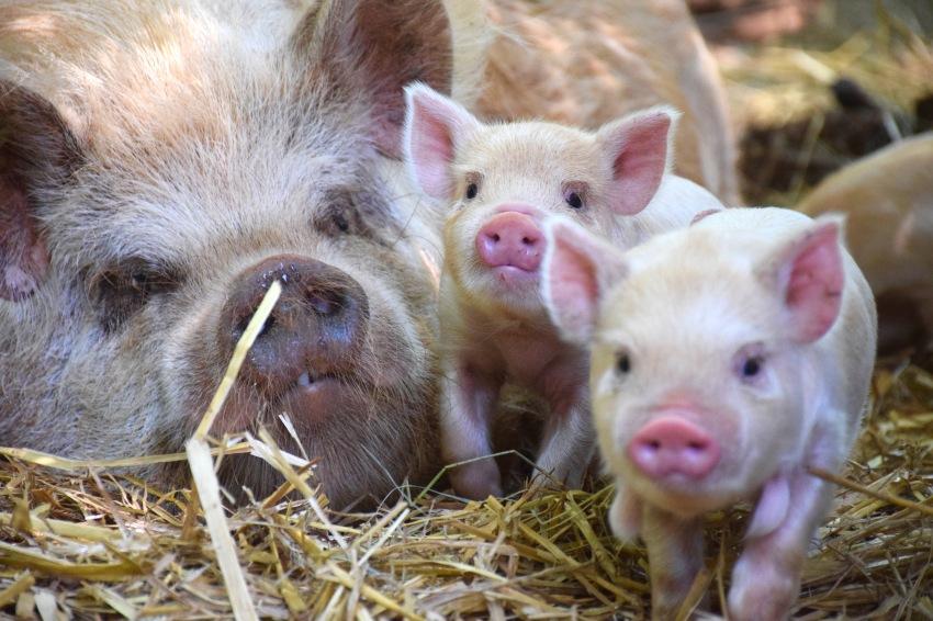 kunekune piglet, maori pig, grazing pig