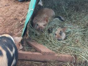 deep hay bedding keeps them warm.