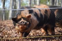 Ru boar, Siggy