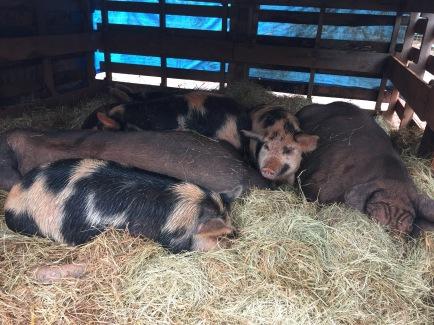 Pigs snuggling inside pallet shelter.