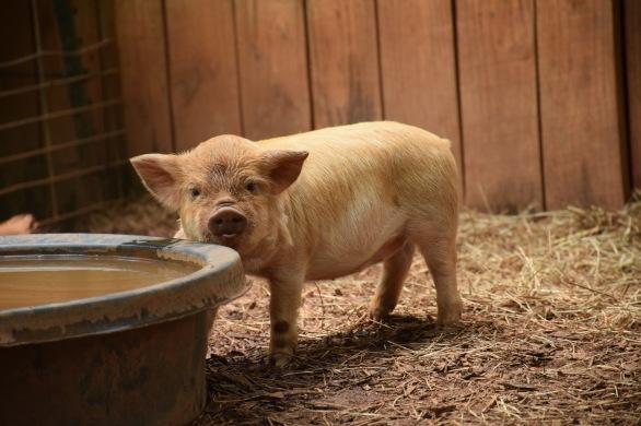 kunekune piglet, maori pig, grazing pig, kune kune pig