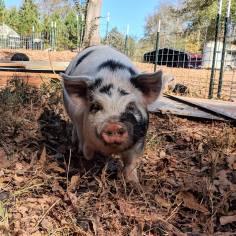 Mahia Love boar, Ambrose