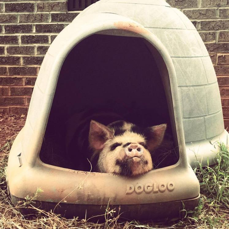 A dogloo makes a great shelter for smaller pigs.
