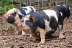 Tonganui boar, Amadeus