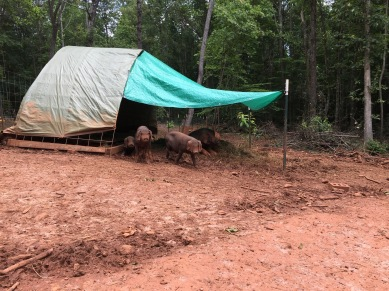Meishan pigs in hoop shelter with tarp shade.