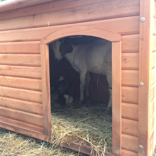 A dog house can make a great piglet shelter, or in this case, goat shelter.