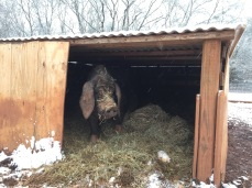 Plywood across the front of a pallet shelter, deep hay bedding.