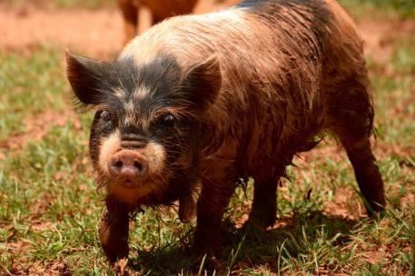 Whakanui boar, Maximilian